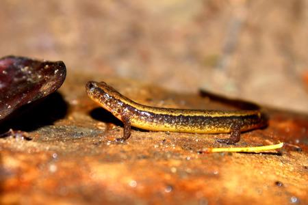salamandra: Dos sur bordeada de cirrigera Salamandra Eurycea Foto de archivo