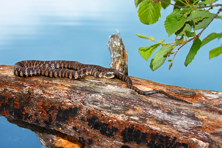 Northern Water Snake Nerodia sipedon basking over a lake in the Northern Highland-American Legion State Forest of Wisconsin Stock Photo