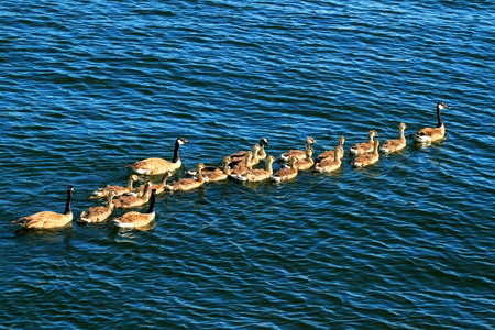 Canada Geese Branta canadensis family on the waters of Lake Minocqua Wisconsin Stock Photo