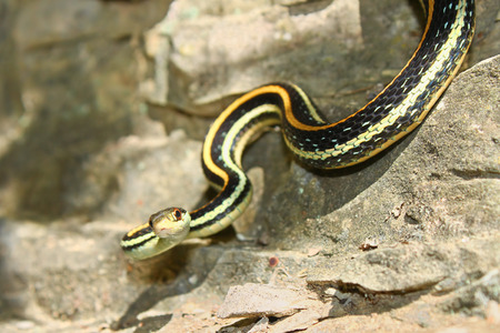 Western Ribbon Snake Thamnophis proximus hanging on a rock ledge in the Shawnee National Forest of Illinois Stock Photo