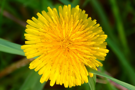 Bright yellow dandelion flower in bloom in northern Illinois Stock Photo