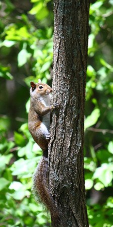 Squirrel climbing a tree at Monte Sano State Park in Alabama