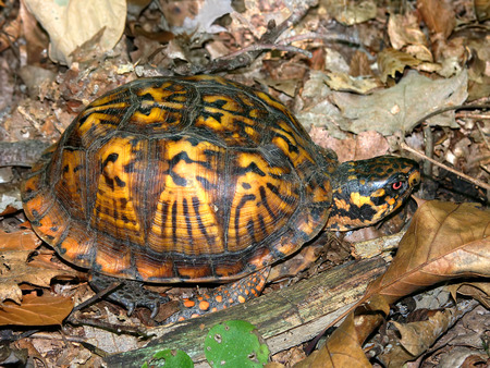 Box Turtle Illinois Wildlife