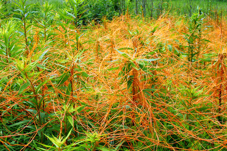 dense mats: Dodder is a parasitic plant that is totally dependent on other host plants for survival