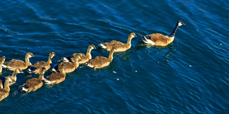 Canada Geese (Branta canadensis) family on the waters of Lake Minocqua Wisconsin Stock Photo