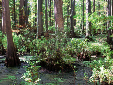 Cypress tupelo swamp at Heron Pond Little Black Slough Nature Preserve in southern Illinois Stock Photo