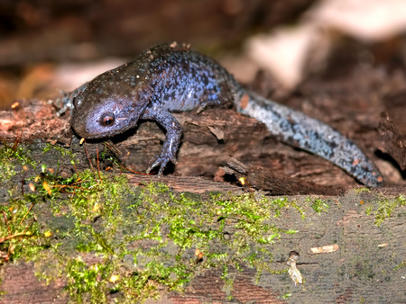 Mole Salamanders (Ambystoma talpoideum) have mottled patterns and can be found throughout the southern United States Stock Photo