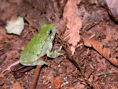 Bird-Voiced Treefrog (Hyla avivoca) inhabiting the forests of southern Illinois Stock Photo