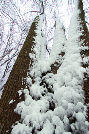 Snow clings to forest trees at Rock Cut State Park in Illinois Stock Photo