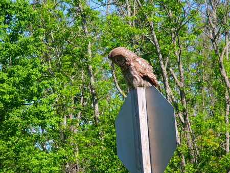 Great Gray Owl (Strix nebulosa) sitting on a stop sign in northern Wisconsin