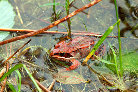 Wood Frogs (Rana sylvatica) are adapted to handle cold temperatures and occur throughout northern North America