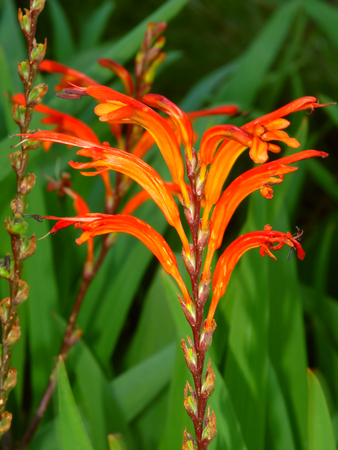 Beautiful orange flower blooming in Warrnambool Australia Stock Photo