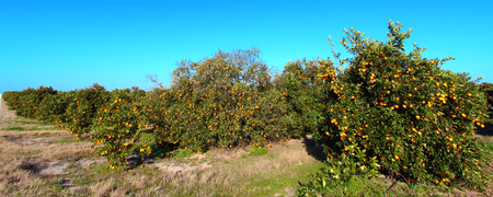 Florida Orange Grove Panorama