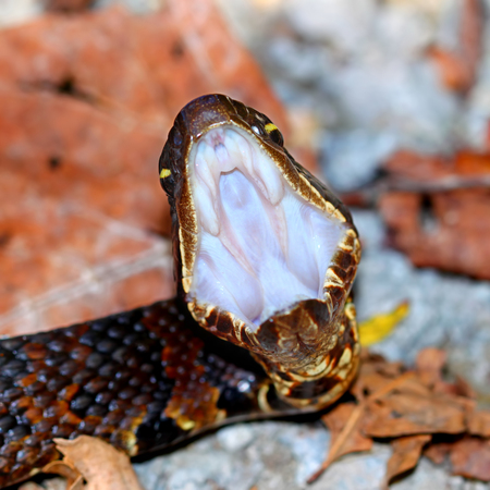 Cottonmouth (Agkistrodon piscivorus) in Shawnee Hills National Forest of southern Illinois Stock Photo