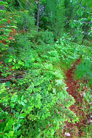 Ferns grow in the understory of a vivid green northwoods forest in Wisconsin Stock Photo