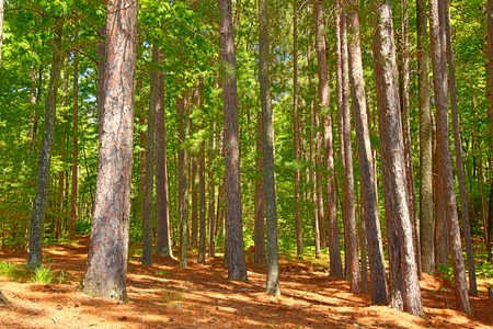 Pine forests dominate the landscape of northwoods Wisconsin