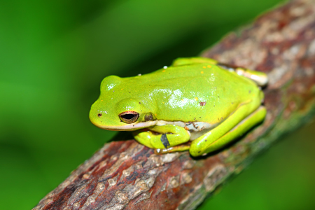 Green Treefrog (Hyla cinerea) at Shawnee National Forest in southern Illinois Stock Photo