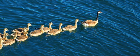 Canada Geese (Branta canadensis) swim through Lake Minocqua Wisconsin Stock Photo