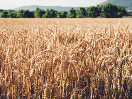 A closeup shot of wheat in a field at daytime