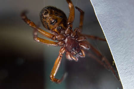 A closeup of a False widow spider under the lights with a blurry background Standard-Bild