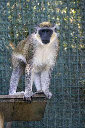 A vertical shot of a grey langur monkey in the cage
