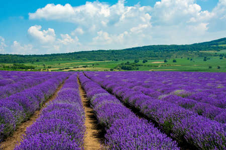 A breathtaking view of a field covered with beautiful lavender flowers captured on a sunny day