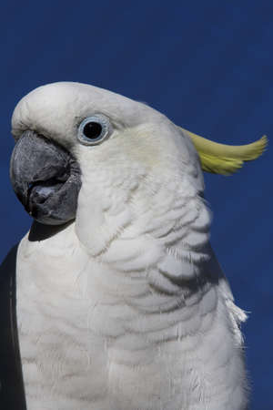 A closeup shot of a white cockatoo behind a blue surface Stockfoto