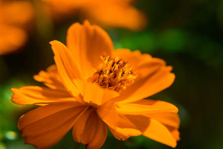 A macro shot of the blossomed Orange Cosmos flower