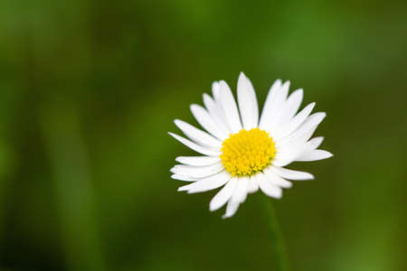 A closeup shot of chamomile on a blurred green background