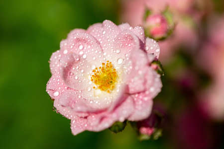 A closeup shot of a blossomed pink flower with blurred green background