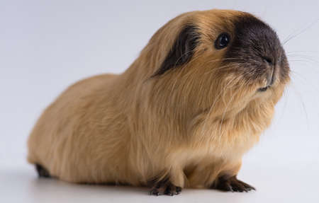A closeup shot of guinea pig isolated on a white background