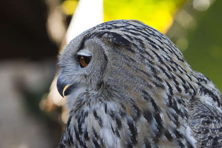 A closeup shot of an owl with open beak Stock Photo