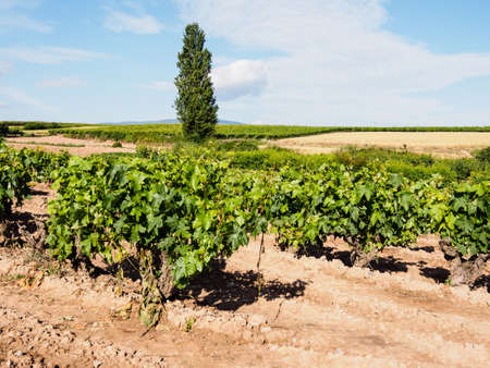 A beautiful scenery of vineyards in La Rioja, Spain at daytime