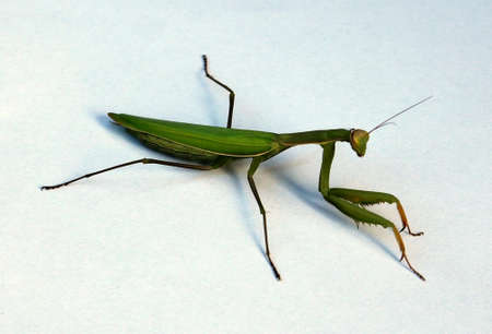 An extreme closeup of a praying mantis on white surface