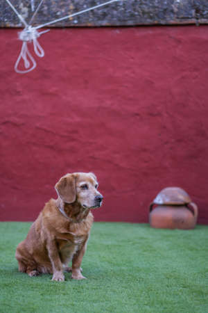 An adopted Golden Retriever that used to be a street dog sitting quietly on the green grass against a red background