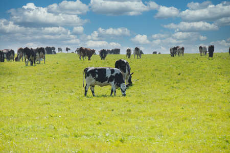 A herd of grazing cows in a field covered in greenery under the sunlight and a blue cloudy sky