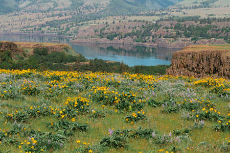 Field of balsam root and lupine flowers with the Columbia River in the background