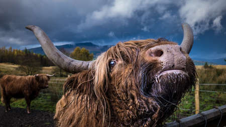 A closeup shot of an adult domestic yak looking at the camera with another yak in the background Stock Photo