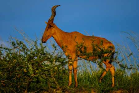 A selective focus shot of a hartebeest standing in a grassy field near plants with blue sky in the background