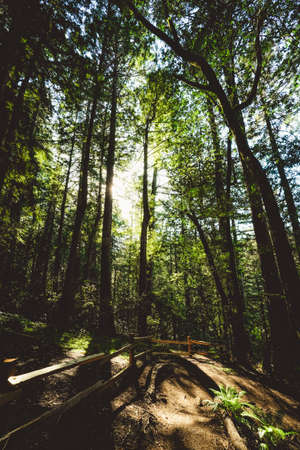 A tall trees near a wooden fence on a sunny day in Redwoods of Muir Woods in Marin, California Stock Photo