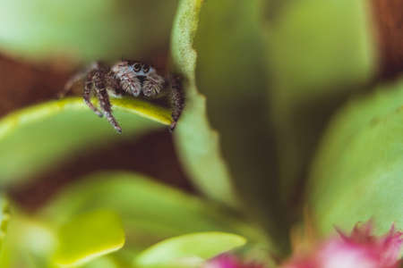A jumping spider resting on a plant.