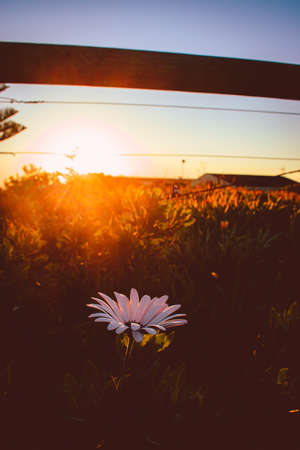 A beautiful vertical shot of a white flower blooming in a field with the sun shining during golden hour-perfect for mobile wallpaper Stok Fotoğraf