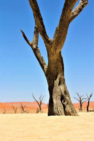 A vertical shot of a big leafless tree in a desert with sand dunes and clear sky in the background