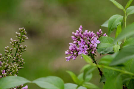 A close up shot of violet lilacs with leafs Banque d'images