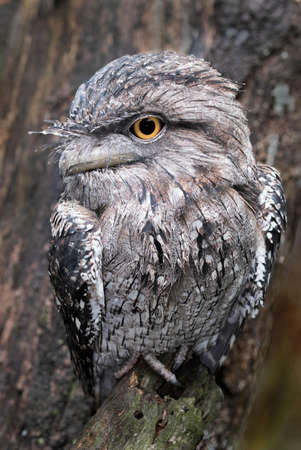 A vertical shot of a tawny frogmouth standing on a tree with a blurry background