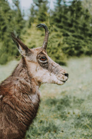 A closeup of a Cantabrian chamois also knows as mountain goat antelope with a blurred background