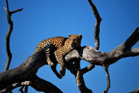 A close shot of a leopard laying on a tree with blue sky in the background