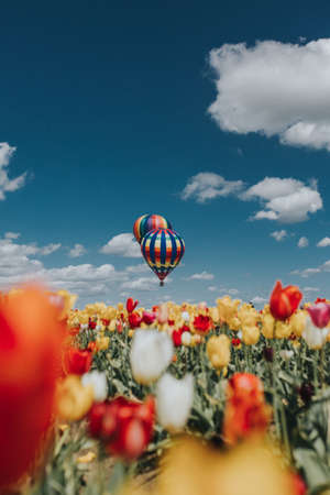 A beautiful vista of tulips with colorful large air balloons above the field and amazing blue sky with clouds Stock Photo