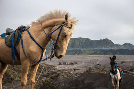 A closeup shot of horses on the Mount Bromo background in Indonesia