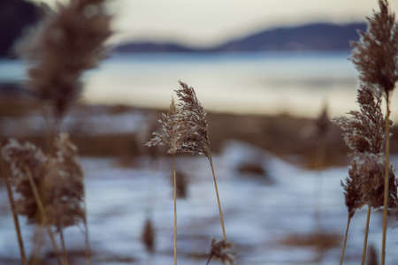 A closeup of a dry plant in a field near a lake with snow on it Banque d'images